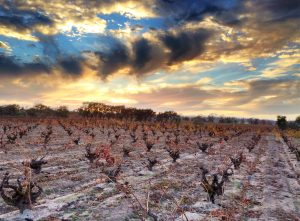 Cold weather makes for a dramatic sunset at the old Saitone Vineyard, Russian River Valley.